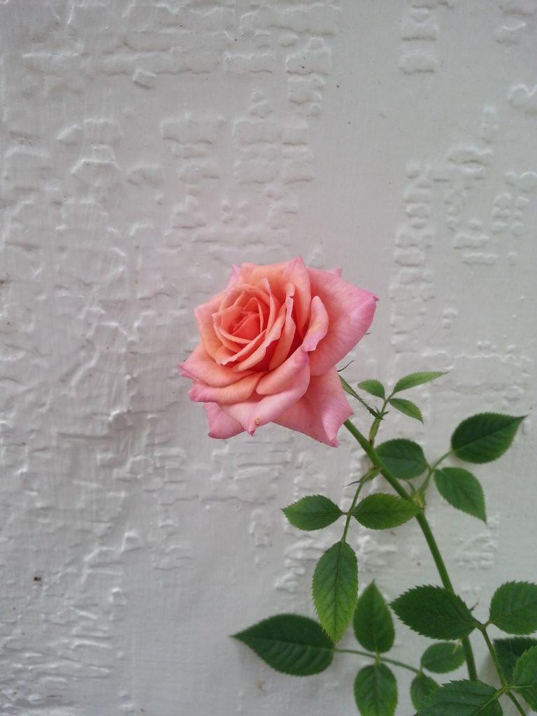Rose Reiki Liebe Symbol Villach